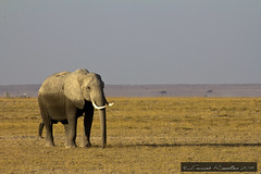 "The Elephant - Amboseli Kenya • <a style=""font-size:0.8em;"" href=""https://www.flickr.com/photos/63857885@N08/10097074883/"" target=""_blank"">View on Flickr</a>"