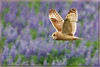 www.durmaplay.com_Oyun_Wallpaper_1987.jpg (http://www.durmaplay.com) Tags: flowers bird nature iceland purple wildlife hunting flight raptor owl lupine birdofprey shortearedowl hvhe1 hennievanheerden httpswwwdurmaplaycom