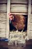 Chicken! - 20140422 Featherdown Farm DSC_3453.jpg (PowderPhotography) Tags: house eye chicken easter 50mm nikon carlton f14 bedfordshire april coop nikkor hen beady 2014 newbarnfarm d700 featherdownfarm