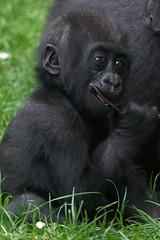 Burger's Zoo (soetendaal) Tags: baby zoo monkey gorilla arnhem burgers apes