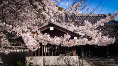 ENMEIJI,kawasaki (Yinghao Ho) Tags: japan spring temples cherryblossom sakura kawasaki