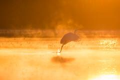 Ardea alba - sunrise