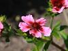 Potentilla nepalensis (julia_HalleFotoFan) Tags: rosaceae potentilla fingerkraut rosengewächs potentillanepalensis