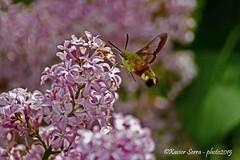 (mansdor) Tags: flowers flores mariposa lilas libando