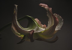 IMG_8718 1 a (tonyanthonye) Tags: amaryllis tonyanthony tonyanthonye