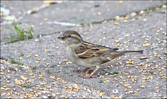 Sparrow (Sue90ca Tornados Hit Just South Of Here) Tags: canon seed ground sparrow 6d challengeclubwinner