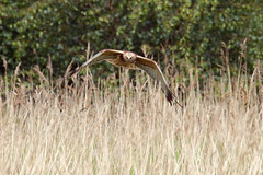 Male Marsh Harrier (Andrew_Leggett) Tags: reeds hunting flight marsh birdofprey harrier reedbed headon marshharrier
