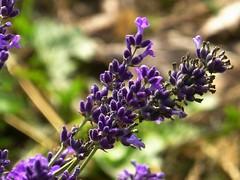Lavendel (dorisgoebel) Tags: lavendel lavender lila purple natur
