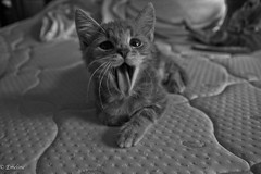 baillement chaton (Nykii) Tags: baillement bouille chat chaton cat pet animal animaux ttedechat noiretblanc blackandwhite sonyalpha museau