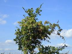 was ist das ??? sieht aus wie hopfen ??? P9241304 (Thomas Rossi Rassloff) Tags: hopfen schlingpflanze natur landwirtschaft farmen pflanzen zchten wild