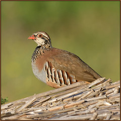 Red-legged Partridge (image 2 of 2) (Full Moon Images) Tags: rspb fen drayton lakes wildlife nature reserve cambridgeshire bird redlegged partridge