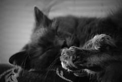 IMGP6916 (PahaKoz) Tags:         cat portrait paw sleep sleeping relaxation nebelung dream  pet sleeps