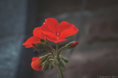 Primavera... (Euge Ibero) Tags: flora flowers flores flor fleur canon colores colors colorful red green garden jardn ptalos petals spring primavera naturaleza nature naturephotography
