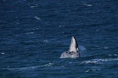 Giants of the Ocean (Geoffsnaps) Tags: nikond810 nikon d810 fx hunpback whale ocean mamal sea nikonnikkor200500mmf56eedvrafs nikkor 200500mm f56e ed vr afs gitzogm5541carbonmonopod gitzo gm5541 carbon monopod acratechpanoramichead monopodhead acratech panoramic head tweedheads nsw newsouthwales giants australia