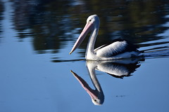 Pelican and reflection (Luke6876) Tags: australianpelican pelican bird animal wildlife australianwildlife reflection