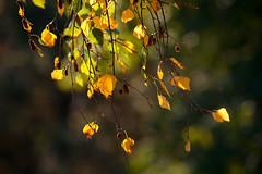 birch in autumn (Sabinche) Tags: birch tree leaf autumn fall bokeh hbw outdoor foliage canoneos5dmarkiii sabinche