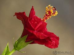 Hibiscus tras la lluvia (Esmerejon) Tags: hybiscus floresdejardín floresimportadas naturaleza jardinería