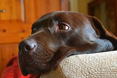 TV eyes.. (Michael C. Hall) Tags: labrador armchair couch potato