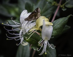 Honeysuckle & skipper (roberttaylor25) Tags: ga georgia helen honeysuckle insects nature skippers usa wildflowers