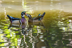 Wood Ducks in love ( David Gunter) Tags: wood ducks love nature natural water pond lake bird waterfowl