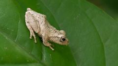 Tree frog (jc.han) Tags: frog pentax pentaxk5iis f100f28 100mm hsinchu 樹蛙