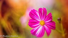 the garden light of Autumn (frederic.gombert) Tags: flower light sun sunlight plant color colors autumn macro nikon d800 cosmos flowers garden