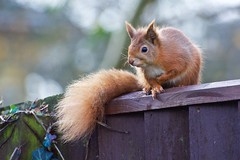 KMH_3713 (Island Snapper) Tags: iow wight redsquirrel shanklin