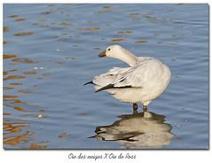 Oie des neiges X Oie de Ross / Snow Goose X Ross's Goose  153A9242 (salmo52) Tags: birds oiseaux salmo52 alaincharette oiedeross oiedesneiges snowgosse rosssgoose chencaerulescens chenrossii victoriaville rservoirbeaudet anatidae anatids