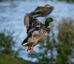 941A3614 (Orrellpenguin) Tags: orrell water park billinge winstanley