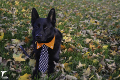 The Bone Collector (houndstooth4) Tags: dogs germanshepherd kster dogchal ddc odc halloween