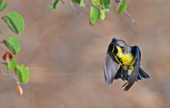 Purple Sunbird (Eclipse Male) (Anuj Nair) Tags: anujnair nectariniaasiatica purplesunbird purplesunbirdeclipsemale sunbird nectarinia bird