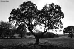 rbol de los corazones // Tree of hearts (Cazadora de Fotos) Tags: arboles black white blanco negro natura naturaleza tree arbol bosque prado