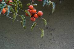 Kaki Persimmon (tokinotamao) Tags: jp   kakipersimmon diospyroskaki