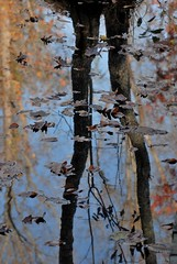 treading lightly (courtney065) Tags: nikond200 nature landscapes trees flora leaves reflections autumn fall autumnleaves wetlands pondreflections abstract artistic serene water waterreflections