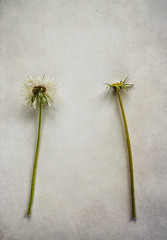 Dandelion.. (borealnz) Tags: dandelion seedhead seeds weed plant nature two