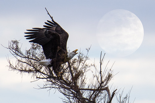 Bald Eagle Supermoon