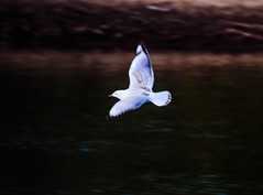 Seagull in flight (Merrillie) Tags: bokeh woywoy gull nature australia birds outdoor nswcentralcoast newsouthwales animal flight nsw flying channel wildlife centralcoastnsw photography seagull bird silvergull outdoors animals fauna centralcoast bay water