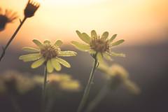 Light is fantastic (Stadt_Kind) Tags: europe bavaria germany kempten stadtkind sonyilce7 sun droplets morgentau blte blume flores fleur flower sunrise sonnenaufgang dusk morning light
