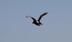 White-backed Duck (Laura Erickson) Tags: africa anatidae entebbe uganda birds whitebackedduck species places anseriformes thalassornisleuconotus