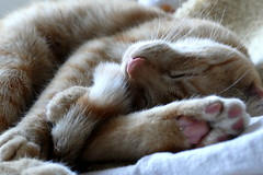 don´t wake me up (nelesch14) Tags: cat sleepy macro tired cute sleeping kitten animal familypet wakingup dreaming