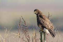 Nice fat Buzzard (skees499 ) Tags: buizerd keesmolenaar commonbuzzard buteobuteo natuur ngc d500 nikon noordwaard biesbosch