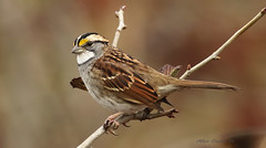 Bruant  gorge blanche / White-throated Sparrow (Alain Daigle) Tags: bruantgorgeblanche whitethroatedsparrow