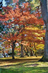 Trees of Kenroku-en (jpellgen) Tags: japan japanese nihon nippon  ishikawa kanazawa kenrokuen garden zen     asia nikon 2016 fall autumn sigma 1770mm d7000 leaves leaf momiji koyo maple november travel honshu park nature scenery