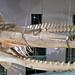 Physeter macrocephalus (sperm whale) (Wrightsville Beach, North Carolina, USA) 14