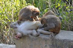 DSC_3429monkeygrooming (BasiaBM) Tags: swayambhunath monkey temple kathmandu nepal