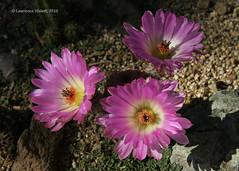 IMG_7032a copy (l.e.violett) Tags: cactus flowering cultivated echinocereus rigidissmus rubispinus