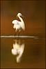 White Angel (hvhe1) Tags: africa white reflection bird nature animal wildlife gambia waterfowl vogel egrettagularis westernreefheron watervogel specanimal hvhe1 hennievanheerden westelijkerifreiger marakissarivercamp