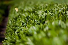 Tulpė | Burbiškio dvaras (A. Aleksandravičius) Tags: green spring f14 85mm mc tulip if 85 ae lithuania umc pavasaris samyang tulpės d700 nikond700 samyang85mmf14 burbiškiodvaras burbiškis samyang85 samyangae85mmf14ifmc