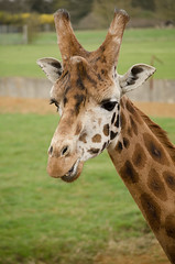 a giraffes portrait (mio_london2008) Tags: show sanfrancisco seattle street uk trip travel trees winter wedding sunset red sea summer vacation portrait england sky people urban woman usa pet pets sun white snow tree art nature water animal animals yellow rock fauna vintage river square fun thailand photography zoo tokyo scotland photo washington spring spain nikon san raw texas unitedstates czech photos wildlife picture taiwan photograph squareformat cotswoldwildlifepark