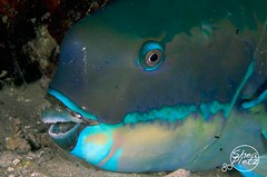 Parrotfish Dive